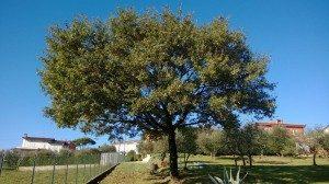 quercus pubescens dopo