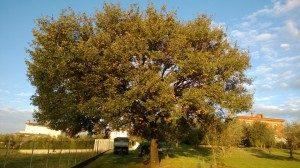 quercus pubescens prima