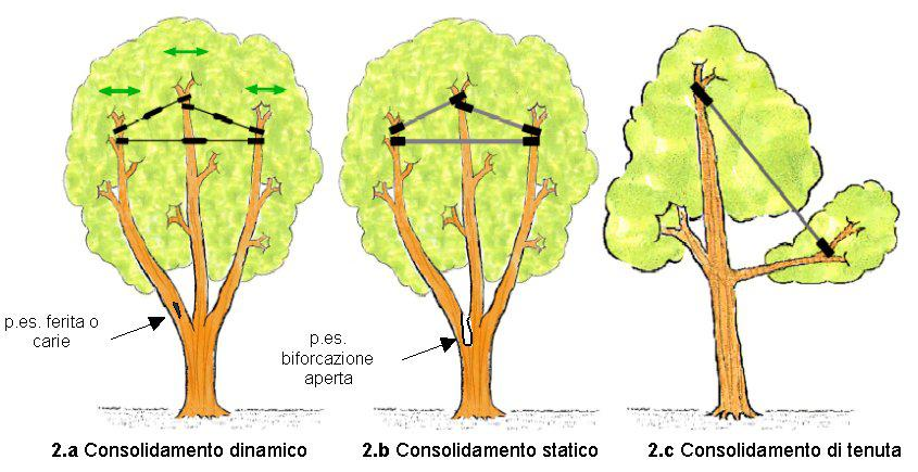 Il Consolidamento della chioma arborea