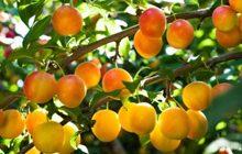 alberi-da-frutto